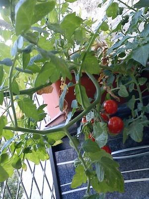 Blog tomates 1