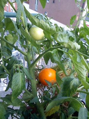 Blog tomates 2