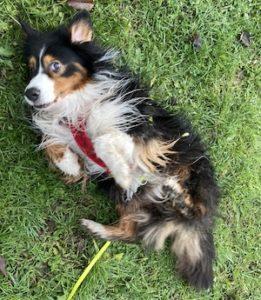 Le magnifique chien Helgant se frotte le dos dans l'herbe.