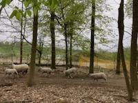 Un troupeau de moutons passe dans le parc de La Courneuve début avril 2021.